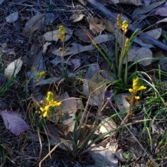 Bulbine bulbosa (Golden Lily) at Kama - 22 Oct 2019 by Kurt