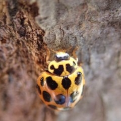 Harmonia conformis (Common Spotted Ladybird) at Spence, ACT - 21 Oct 2019 by Laserchemisty