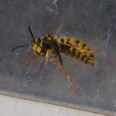 Vespula germanica (European wasp) at Flynn, ACT - 22 Oct 2019 by Christine
