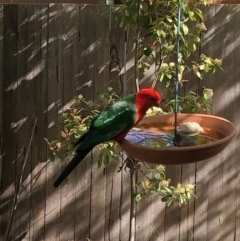 Alisterus scapularis (Australian King-Parrot) at Aranda, ACT - 22 Oct 2019 by Jubeyjubes