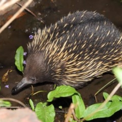 Tachyglossus aculeatus (Short-beaked Echidna) at ANBG - 22 Oct 2019 by Tim L