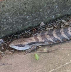 Tiliqua scincoides scincoides (Eastern Blue-tongue) at Weston, ACT - 23 Oct 2019 by mac084