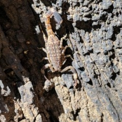 Lychas marmoreus (Marbled Scorpion) at Mount Ainslie - 23 Oct 2019 by MattM