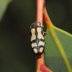 Castiarina decemmaculata at ANBG - 22 Oct 2019