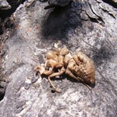 Psaltoda moerens (Redeye Cicada) at Mount Ainslie - 23 Oct 2019 by MichaelMulvaney