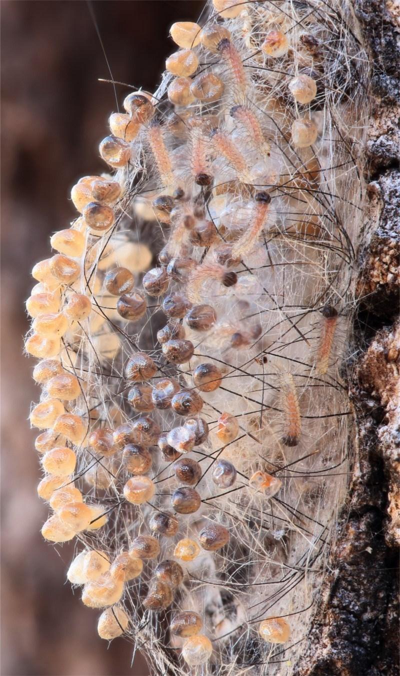 Anestia (genus) at Kambah, ACT - 23 Oct 2019