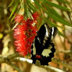 Papilio (Princeps) aegeus (Large Citrus Butterfly) at Brogo, NSW - 23 Oct 2019 by MaxCampbell
