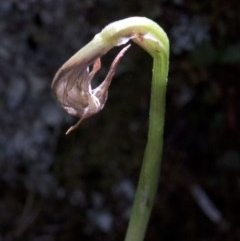 Pterostylis sp. (A Greenhood) at Wee Jasper Nature Reserve - 23 Oct 2019 by JudithRoach