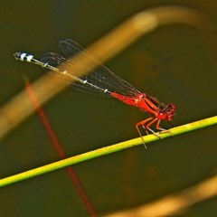 Xanthagrion erythroneurum (Red and Blue Damsel) at Brogo, NSW - 23 Oct 2019 by MaxCampbell