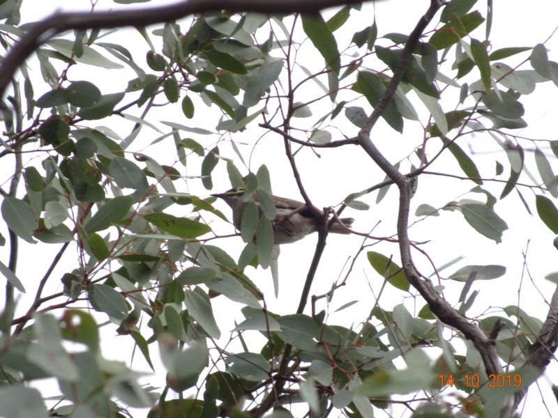 Caligavis chrysops at Red Hill Nature Reserve - 14 Oct 2019