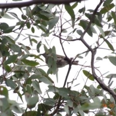 Caligavis chrysops (Yellow-faced Honeyeater) at Red Hill Nature Reserve - 13 Oct 2019 by TomT