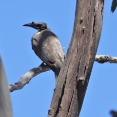 Philemon corniculatus (Noisy Friarbird) at Red Hill Nature Reserve - 22 Oct 2019 by JackyF