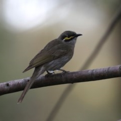Caligavis chrysops (Yellow-faced Honeyeater) at Jerrabomberra Wetlands - 18 Sep 2019 by jbromilow50