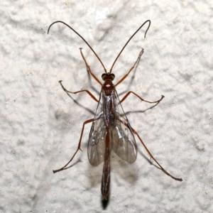 Enicospilus sp. (genus) at Ainslie, ACT - 18 Sep 2019