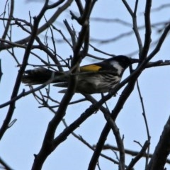 Phylidonyris niger X novaehollandiae (Hybrid) (White-cheeked X New Holland Honeyeater (Hybrid)) at Jerrabomberra Wetlands - 23 Oct 2019 by RodDeb