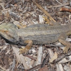 Pogona barbata at ANBG - 22 Oct 2019