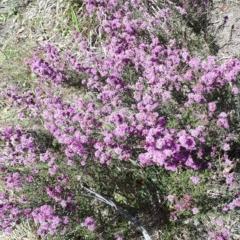 Kunzea parvifolia (Violet kunzea) at Mittagong, NSW - 20 Oct 2019 by KarenG