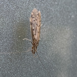 TRICHOPTERA (order) at Berry, NSW - 24 Oct 2019