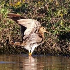 Gallinago hardwickii (Latham's Snipe) at Fyshwick, ACT - 23 Oct 2019 by RodDeb
