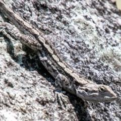 Amphibolurus muricatus (Jacky Lizard) at Paddys River, ACT - 23 Oct 2019 by SWishart