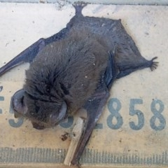 Nyctophilus (TBC) at Batemans Marine Park - 24 Oct 2019 by GLemann