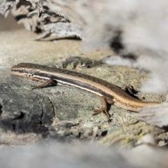 Morethia boulengeri (Boulenger's Skink) at The Pinnacle - 23 Oct 2019 by Alison Milton