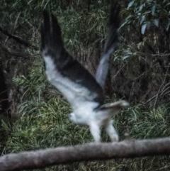 Haliaeetus leucogaster (White-bellied Sea-eagle) at FS Private Property - 24 Oct 2019 by Stewart