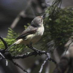 Acanthiza reguloides (Buff-rumped Thornbill) at Bruce, ACT - 21 Oct 2019 by Alison Milton