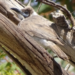 Philemon citreogularis at Jerrabomberra Wetlands - 19 Oct 2019