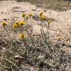 Chrysocephalum apiculatum (Common Everlasting) at Stirling, ACT - 24 Oct 2019 by Nat