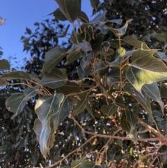 Brachychiton populneus subsp. populneus (Kurrajong) at Berremangra, NSW - 21 Oct 2019 by Nat