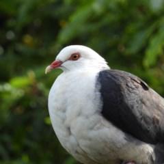 Columba leucomela (White-headed Pigeon) at North Batemans Bay, NSW - 20 Oct 2019 by MatthewFrawley