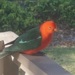 Alisterus scapularis (Australian King-parrot) at Yadboro State Forest - 16 Oct 2019 by gerringongTB