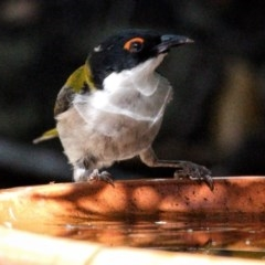 Melithreptus lunatus (White-naped Honeyeater) at FS Private Property - 24 Oct 2019 by Stewart