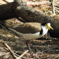 Vanellus miles (Masked Lapwing) at North Batemans Bay, NSW - 20 Oct 2019 by MatthewFrawley