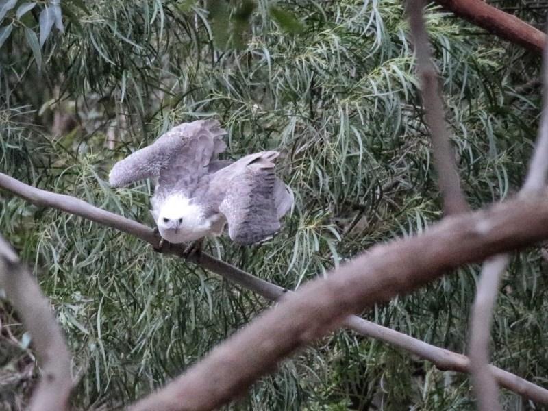 Haliaeetus leucogaster at FS Private Property - 25 Oct 2019