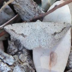 Taxeotis intextata (Looper Moth, Grey Taxeotis) at Jerrabomberra, ACT - 24 Oct 2019 by Christine