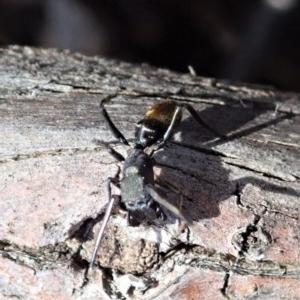 Myrmarachne luctuosa at Aranda Bushland - 24 Oct 2019