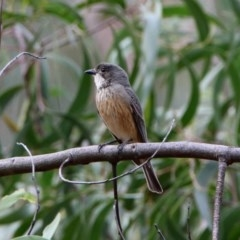 Pachycephala rufiventris (Rufous Whistler) at ANBG - 24 Oct 2019 by RodDeb