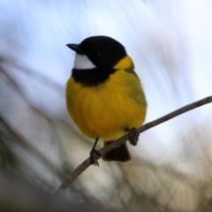 Pachycephala pectoralis (Golden Whistler) at ANBG - 24 Oct 2019 by RodDeb