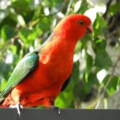 Alisterus scapularis (Australian King-parrot) at North Batemans Bay, NSW - 20 Oct 2019 by MatthewFrawley