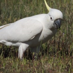 Cacatua galerita (Sulphur-crested Cockatoo) at Lanyon - northern section - 15 Oct 2019 by michaelb