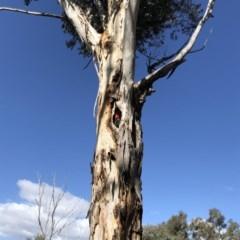 Callocephalon fimbriatum (Gang-gang Cockatoo) at Hughes Garran Woodland - 25 Oct 2019 by ruthkerruish
