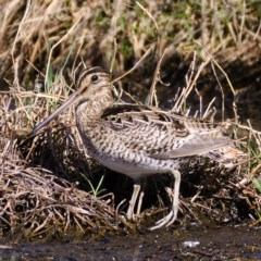Gallinago hardwickii (Latham's Snipe) at Jerrabomberra Wetlands - 25 Oct 2019 by Marthijn