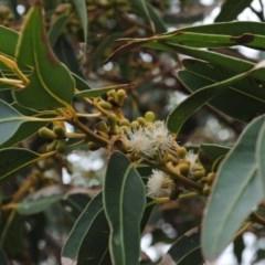 Eucalyptus botryoides (Bangalay, Southern Mahogany) at Coomee Nulunga Cultural Walking Track - 20 Oct 2014 by NicholasdeJong