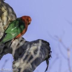 Alisterus scapularis (Australian King-Parrot) at Red Hill Nature Reserve - 19 Oct 2019 by BIrdsinCanberra