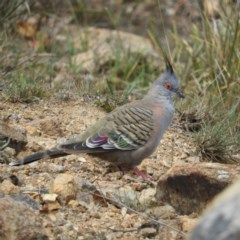 Ocyphaps lophotes (Crested Pigeon) at Mount Taylor - 26 Oct 2019 by MatthewFrawley