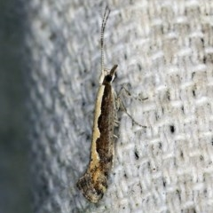 Plutella xylostella (Diamondback Moth) at O'Connor, ACT - 22 Oct 2019 by ibaird