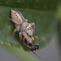 Opisthoncus grassator (Jumping spider) at Higgins, ACT - 5 Oct 2019 by AlisonMilton