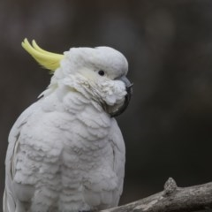 Cacatua galerita (Sulphur-crested Cockatoo) at Higgins, ACT - 4 Aug 2019 by Alison Milton